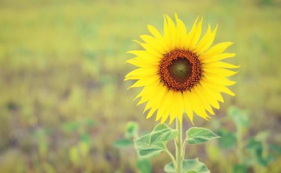 Beautiful landscape sunflower in garden